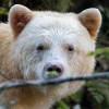 柯莫德熊Kermode bear